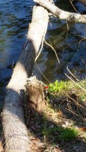 Kigger man nøje efter, kan man se Søren Spætte i færd med at udhule denne stakkels træstamme :-)