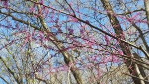 Nogen som ved hvad det er for nogle træer... vi ser dem over alt - det er ret flotte :-)